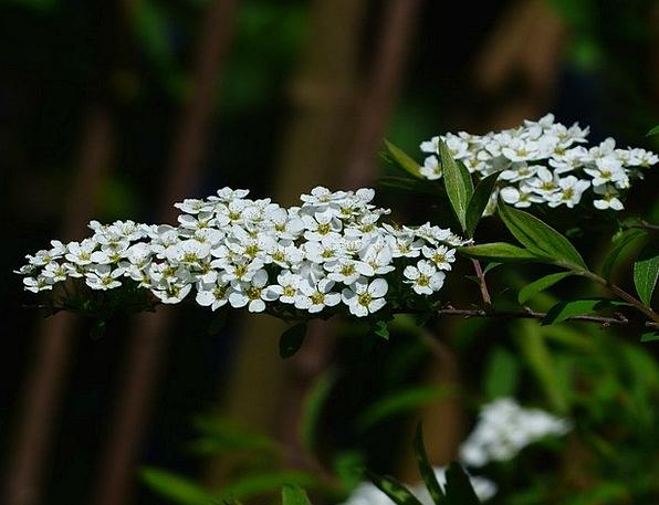 Bride Spiere Flowers Plants Ornamental Shrub Scree
