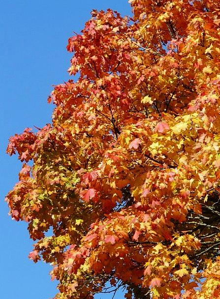 Autumn Tree Bloodshot Yellow Creamy Red Autumn Gol