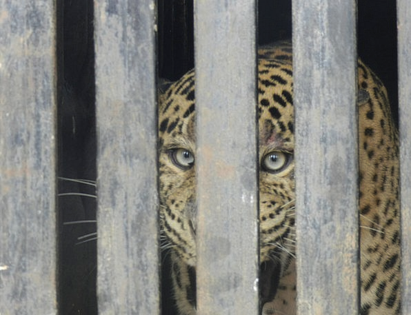 Leopard Zoo Menagerie Caged Leopard Carnivore Cat