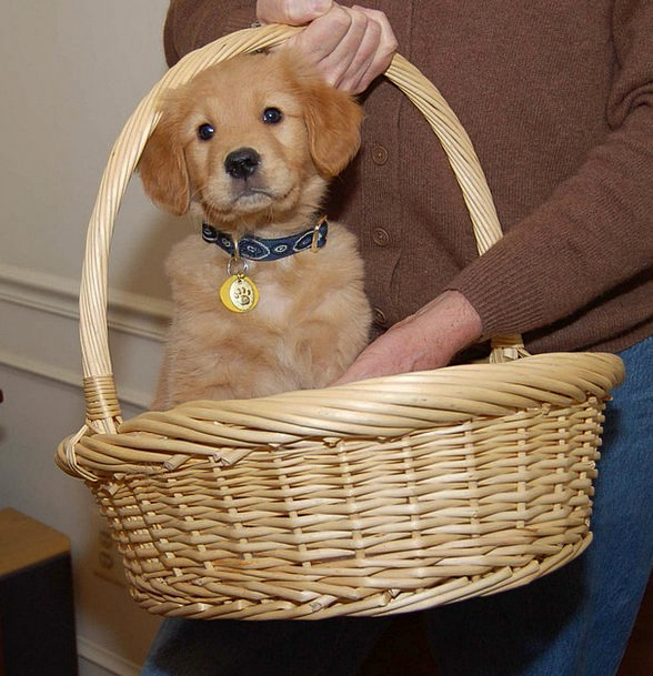 Puppy Brat Golden Excellent Dog Doggy Basket Bag A