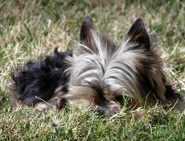 Yorkie Dog Terrier Pet Domesticated Canine Portrai