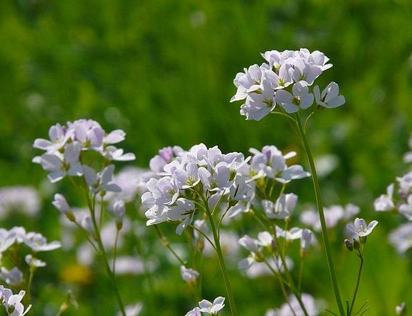 Cuckoo Flower Landscapes Nature Cruciferous Plant