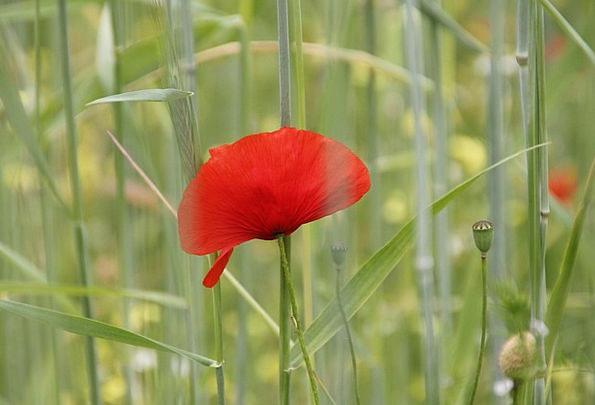 Poppy Landscapes Floret Nature Field Arena Flower