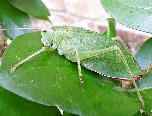 Katydid Leaf-Grasshopper Grasshopper Antenna Insec