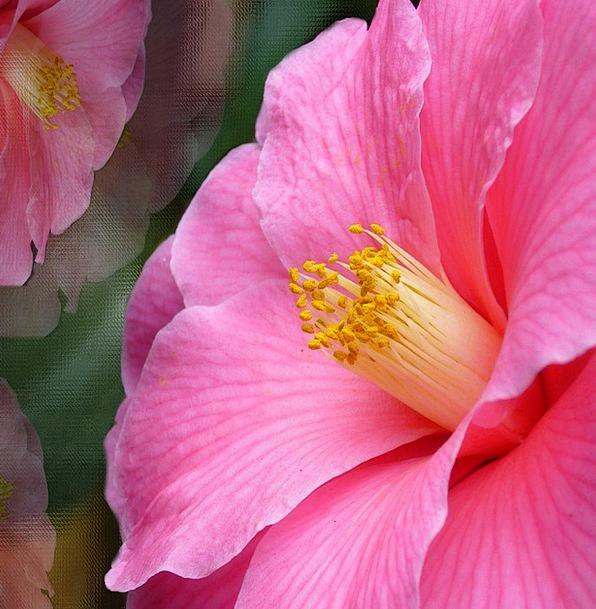 Pink Flushed Flower Floret Camelia Flowers Plants