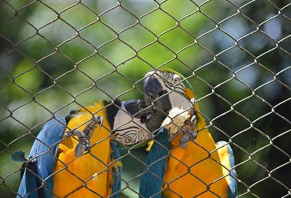 Macaws Kissing Fowl Tropical Birds Bird Animal Phy