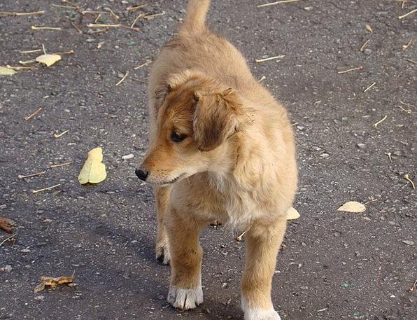 Puppy Brat Canine Redhead Dog Views Opinions Pets