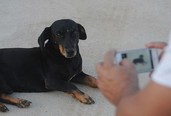 Photograph Photo Canine Iphone Dog Iphone 5 Basset