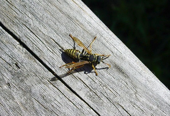Wasp Wood Timber Wood Wasp Insect Bug Animal Fauna