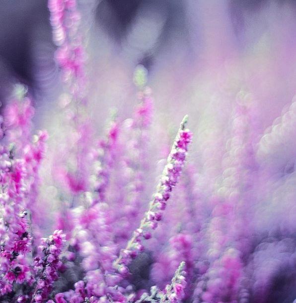 Heather Landscapes Nature Violet Mauve Heathers Be