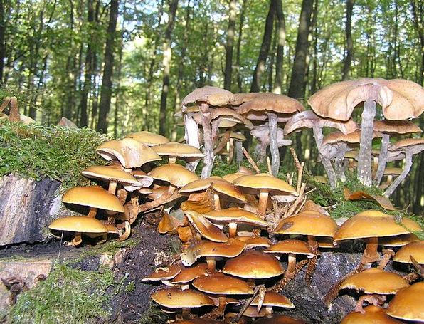 Nameko Drink Burgeon Food Forest Mushroom Mushroom