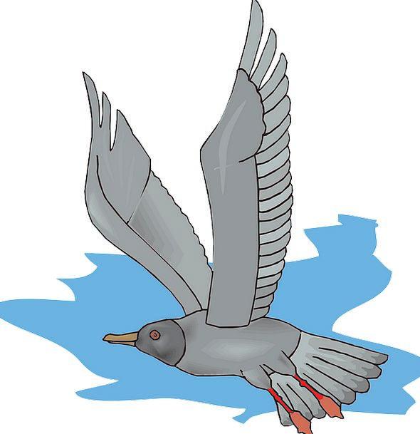 Gull Sea-Gull Seagull Seabird Flying Hovering Wild