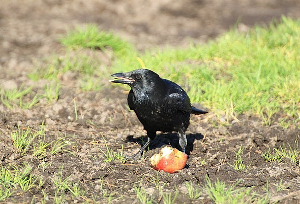 Crow Caw Scoff Raven Bird Raven Animal World Black