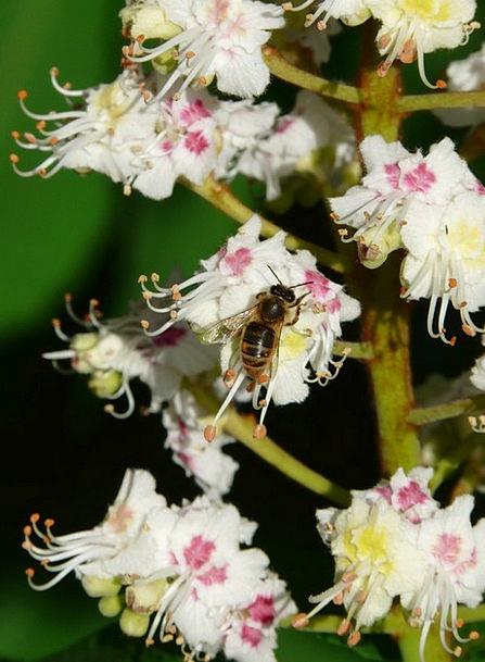 Inflorescence Tree Sapling Bee White Rosskastanie