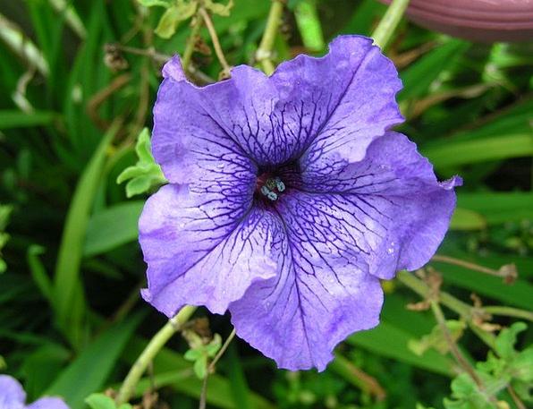 Purple Elaborate Flower Floret Purple Petunia Flow