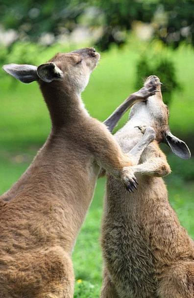 Animal Physical Bout Australian Attack Kangaroos B