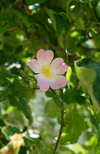 Dog Rose Landscapes Nature Hageman Rose Rosa Canin