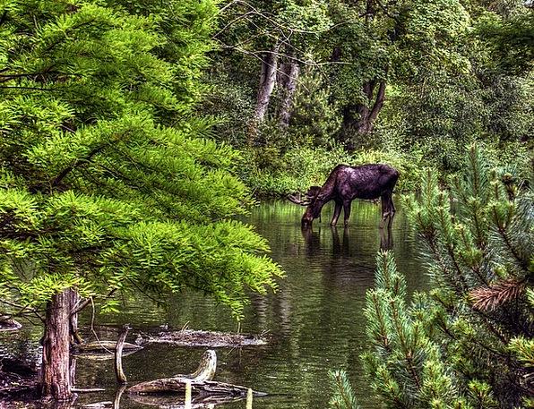 Moose Physical Wildlife Nature Animal Natural Zool