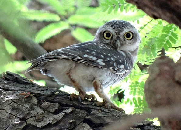 Spotted Owlet Athene Brama Owl Bird Fowl Nocturnal