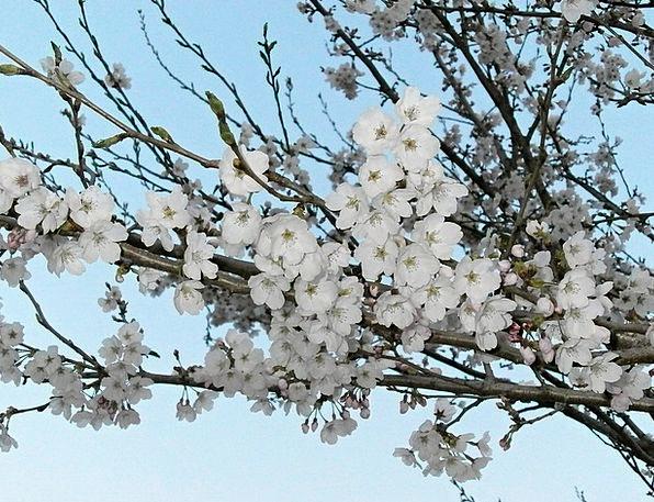 Cherry Pink Cherry Blossoms Cherry Tree Cherry Blo