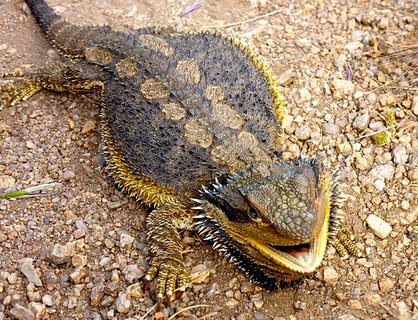lizard landscapes nature australian bearded dragon reptile