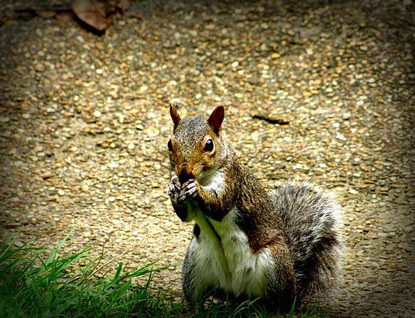 Squirrel Collector Animal Physical Rodent Nature L