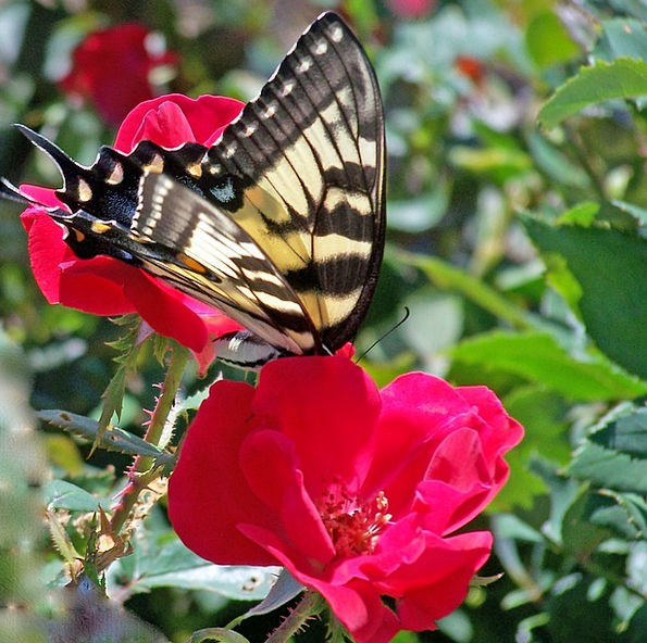 Butterfly Germ Insect Bug Caterpillar Fly Hover Me