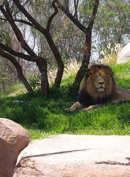 Male Lion Panthera Leo Leo Mane Big Cat Predator L