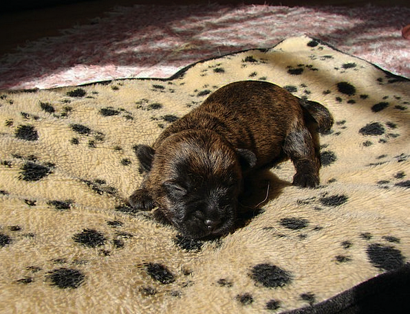 Cairn Terriers Canine Puppy Brat Dog