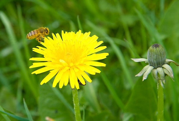 Dandelion Floret Blossom Flower Bloom Pollen Yello