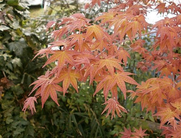 Maple Maple Leaf Autumnal Leaves Arboretum