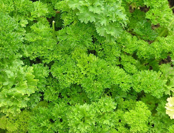 Parsley Basil Landscapes Interest Nature Herbs Bas