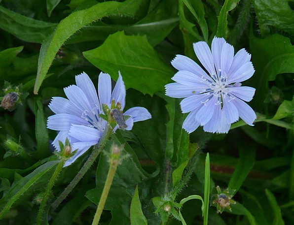 Chicory Floret Light Blue Flower Common Chicory Or