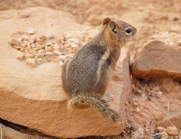 Chipmunk Attractive Nager Cute Family Sciuridae Fu