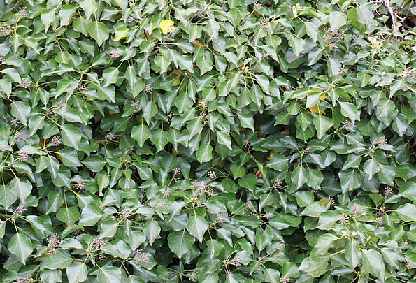 Ivy Landscapes Lime Nature Climber Hiker Green Gar