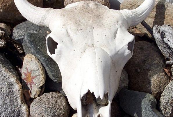 Steer Skull Bleached Bones Cow Skull Skull Mind Ho