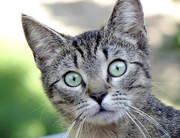 Cat Feline Face Expression Kitten Animal Physical