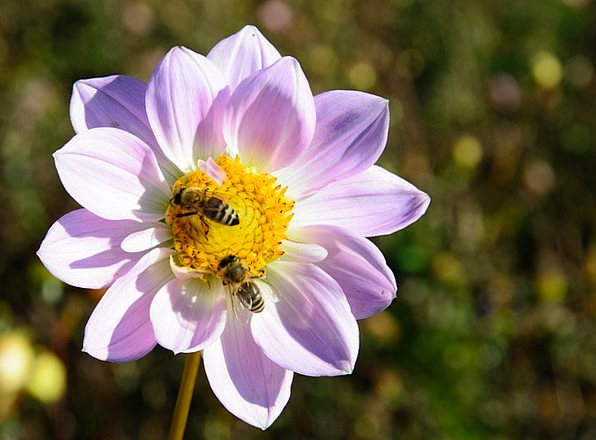 Dahlia Floret Bees Flower Autumn Pollination Ferti