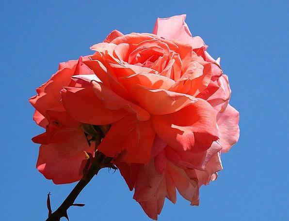 Pink Flushed Designs Flower Floret Roses Petals Bl