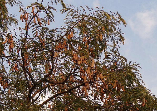 Tamarind Tree Drink Food Tree Sapling Tamarindus I