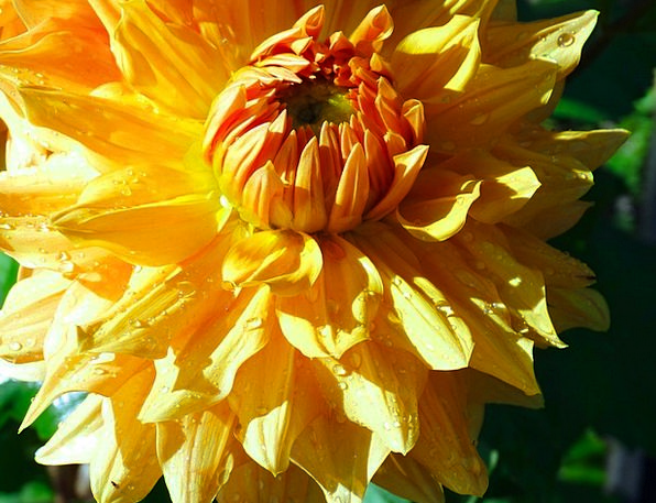 Aster Landscapes Floret Nature Yellow Creamy Flowe