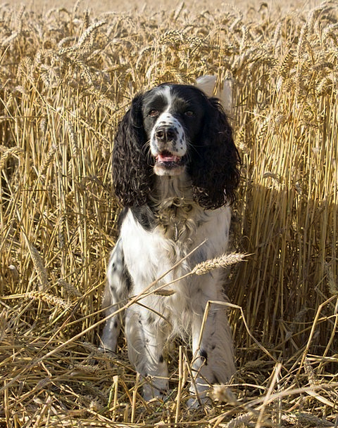 Dog Canine Spaniel Springer Wheat English Springer