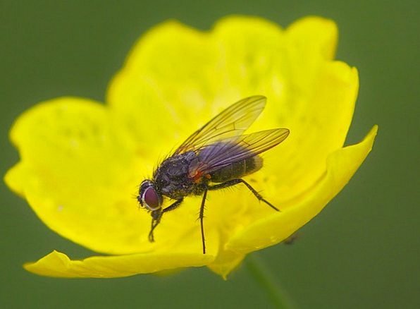 Fly Hover Instruction Insect Bug Macro Nature Coun