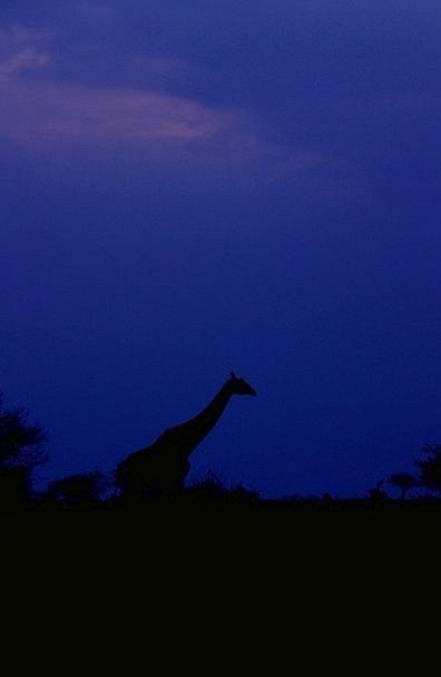 Giraffe Vacation Blue Travel Sunset Sundown Sky Ke
