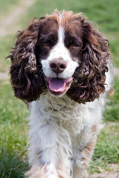 Dog Springer English Canine Spaniel Brown Springer