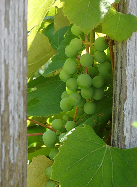 Grapes Drink Ready Food Green Lime Ripe Food Nouri