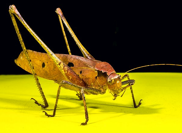Grasshopper Insect Bug Viridissima Scare Fright Ch