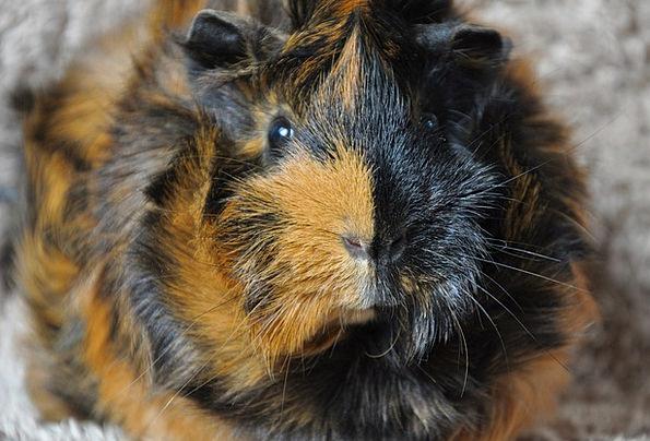 Guinea Pig Animal Physical Rodent Rosette Badge Br