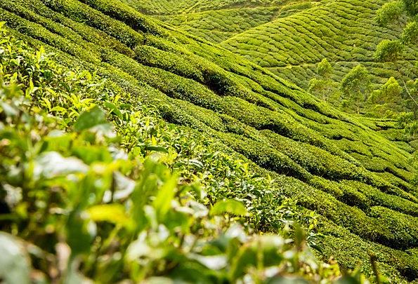 Tea Leaves Landscapes Drink Nature Plantation Esta
