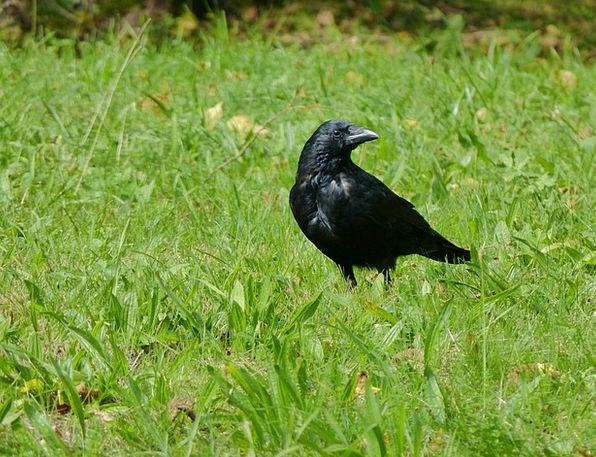 Bird Fowl Scoff Animal Physical Raven Vertebrate N